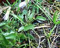 Viola bubanii21042005rosette.JPG