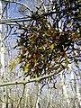 Viscum coloratum in Khabarovsk krai Russia.jpg