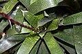 Vriesea Mint Julep 2zz.jpg