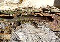 Wall Lizard. Podarsis muralis - Flickr - gailhampshire (3).jpg
