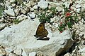 Wall brown and Scarlet pimpernel (35727712932).jpg