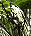 Warbler, black and white 02.jpg
