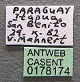 Wasmannia lutzi casent0178174 label 1.jpg