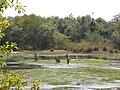 Water buck (Kobus ellipsiprymnus)- Yankari game reserve, Bauchi State (2).jpg