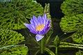 Water lily flower solo.jpg