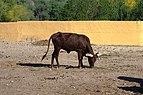 Watusi cattle in Friguia park, Tunisia, december 2018, DSC 0664.jpg