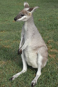 Whiptail Wallaby Young.JPG