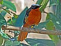 White-crowned Robin-chat RWD.jpg
