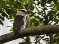 White-necked Puffbird - Ecuador DSCN2772 (16382604166).jpg