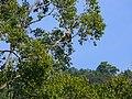 White-taild Eagle - Haliaeetus albicilla - P1030255.jpg