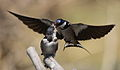 White-throated Swallow, Hirundo albigularis at Marievale Nature Reserve, Gauteng, South Africa. Sequence of two juveniles being fed on the fly by their parents. (15010732214).jpg