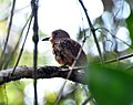 White-whiskered Puffbird (7047761117).jpg