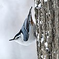 White Breasted Nuthatch (188959043).jpeg