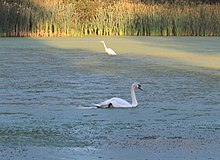 White Crane and Swan in Hewen's Creek Park, Ypsilanti Township, Michigan - panoramio.jpg