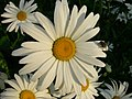 White Daisy And Fly (209239785).jpeg