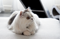 White Gray Minuet Cat.png