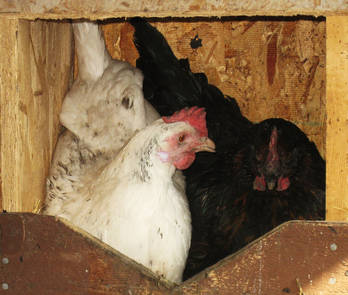 File:White Leghorn & Black Sex Link Share a Nest.