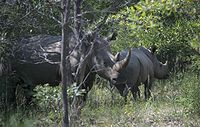 White Rhino Mother and Juvenile in Matopos National Park.jpg