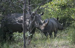 Matobo National Park - White rhino and calf in the game park, Matobo National Park