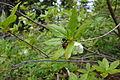 White Rhododendron (16401403953).jpg