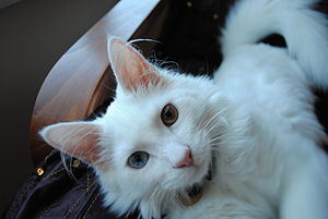 Turkish Angora - White Turkish Angora kitten with odd eyes