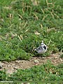 White Wagtail (Motacilla alba) (16528320516).jpg