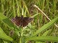 Wild Indigo Duskywing (Erynnis baptisiae) - Guelph, Ontario 2014-06-10 (02).jpg
