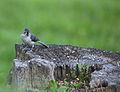 Wildlife birds 12 - West Virginia - ForestWander.jpg