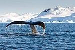 Wilhelmina Bay Antarctica Humpback Whale 1 (47336665251).jpg