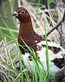 Willow Ptarmigan (5303627531).jpg