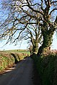 Winter Oaks along a Country Lane - geograph.org.uk - 329679.jpg