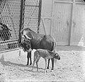 Witstaartgnoe of zwart wildebeest geboren in Artis, Bestanddeelnr 914-1204.jpg