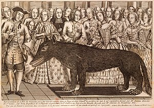 Beast of Gévaudan - The wolf shot by François Antoine on 21 September 1765, displayed at the court of Louis XV