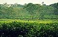 Wonosari tea plantation in East Java.jpg