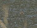 Wood Sandpiper (Tringa glareola) (31790070195).jpg