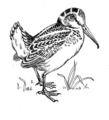 Woodcock (line art) (PSF-W1040011 (cropped)).png