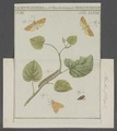Xanthia - Print - Iconographia Zoologica - Special Collections University of Amsterdam - UBAINV0274 057 12 0010.tif