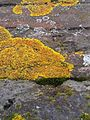 Xanthoria parietina - UK 4.jpg