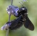 Xylocopa violacea 2.jpg
