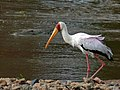 Yellow-billed Stork (Mycteria ibis) (6045220879).jpg