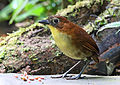 Yellow-breasted Antpitta, Paz de las Aves, Ecuador (5745552999).jpg