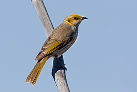 Yellow-plumed Honeyeater (9131787141).jpg