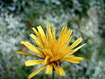 File:Yellow Flower, after snowfall - Flickr - anantal (2).jpg