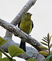 Yellow GreenFinch 1 (5494669797).jpg