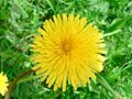 Yellow dandelion on field grass.jpg