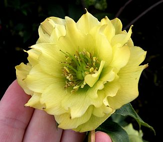 Yellow double hellebore.JPG
