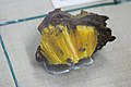 Yellow radiating prismatic crystals on limonite (24889716067).jpg