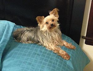 Toy dog - A well sized and healthy  Yorkshire Terrier. The Yorkie is one of the most popular of the toy breeds.