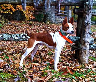 Feist (dog) - Young's Atomic Flash, an example of a Feist Dog.
