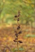 Zaden van een Acanthus mollis. 14-10-2020 (d.j.b.).jpg